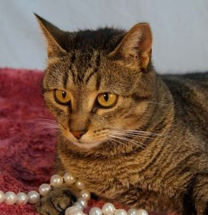 Bell is a precious little tabby girl who LOVES people She had surgery to fix a dislocated hip and h
