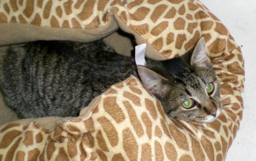 Ed, an adopted Domestic Short Hair & Tabby Mix in Troy, MI