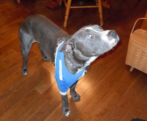 Gage, an adopted American Staffordshire Terrier Mix in Troy, MI