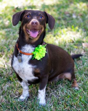 Dog For Adoption Lucy A Beagle Amp German Shorthaired