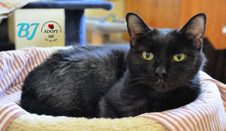 BJ, an adoptable Domestic Short Hair in Youngwood, PA