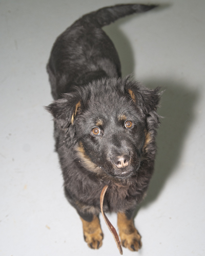 Trina, an adopted Rottweiler & Husky Mix in Fort Smith, NT