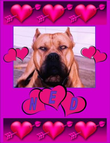 Ned ***POWER BREED RESCUE ***COURTESY LISTING*** NOT AT SHELTER 2