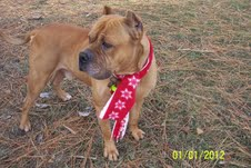 Ned ***POWER BREED RESCUE ***COURTESY LISTING*** NOT AT SHELTER 1