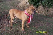 Ned ***POWER BREED RESCUE ***COURTESY LISTING*** NOT AT SHELTER 3