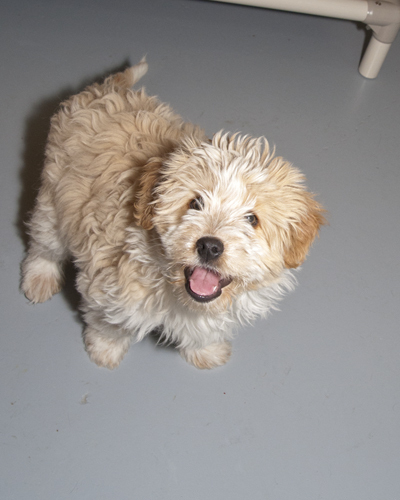 Pollywog, an adopted Poodle & Shih Tzu Mix in Fort Smith, NT