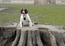 Maddie, an adopted Brittany Spaniel & English Springer Spaniel Mix in Marion, MA