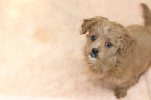 Cinnamon, an adopted Shih Tzu Mix in Fort Smith, NT
