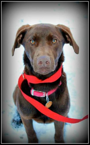 Kellan, an adopted Labrador Retriever Mix in Cheyenne, WY