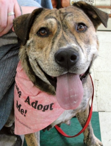 Brandy **ADOPTED**, an adopted Pit Bull Terrier & Shepherd Mix in Bolton, CT