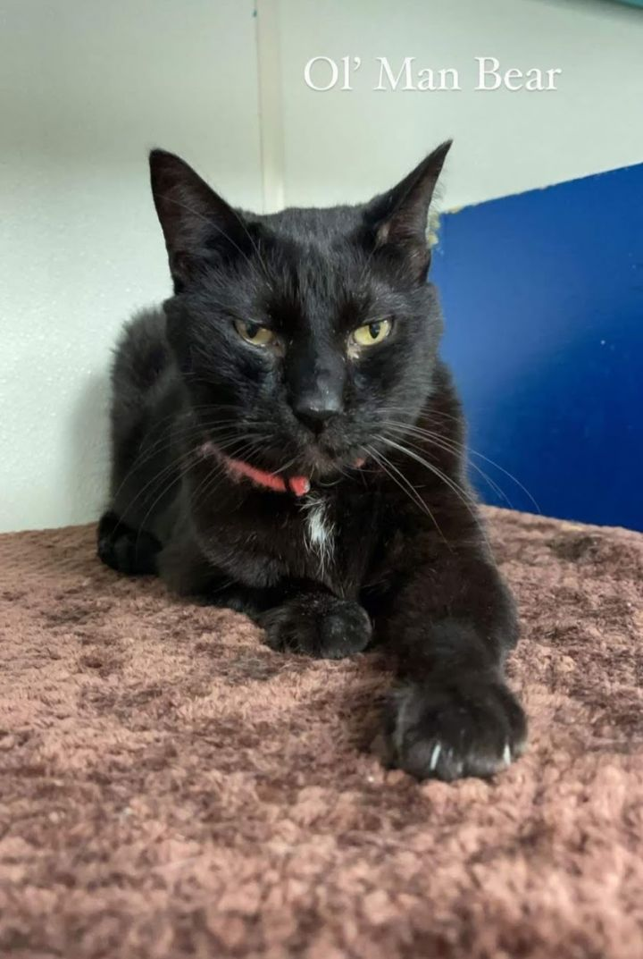 Bear, an adoptable Domestic Short Hair in Eglin AFB, FL