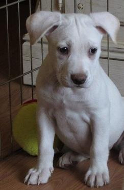 Puppy #10 **ADOPTED**, an adopted Labrador Retriever & Pit Bull Terrier Mix in Bolton, CT