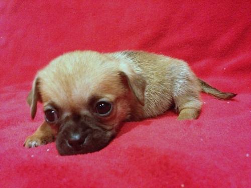 Puggle Puppy - Peanut