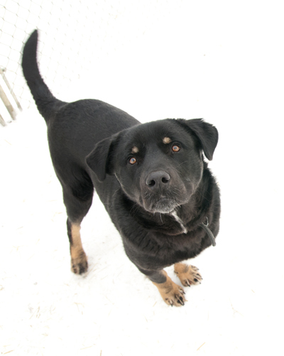 Butch, an adopted Rottweiler & Husky Mix in Fort Smith, NT