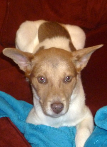 Holly, an adopted Collie & Basenji Mix in Greensboro, NC