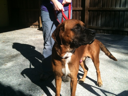 Boo Boo, an adoptable Boxer & Bullmastiff Mix in Loxahatchee, FL