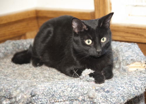 Kitty, an adopted Domestic Short Hair Mix in Fort Smith, NT