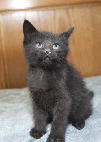 Alex, an adopted Domestic Short Hair Mix in Fort Smith, NT