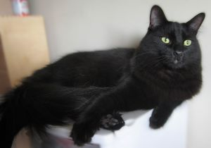 Big LOVEY beautiful This very sweet boy was found in a tree meowing and had apparently been ther
