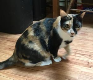 India, an adoptable Calico in Tallahassee, FL