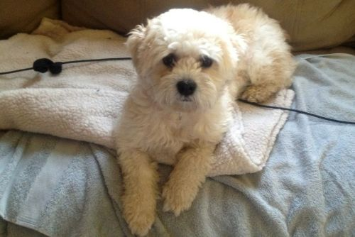 Presley - IN, an adopted Bichon Frise Mix in Indianapolis, IN