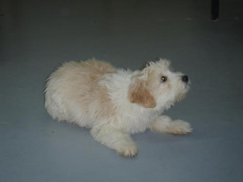 Fluffy, an adopted Terrier in Fort Smith, NT