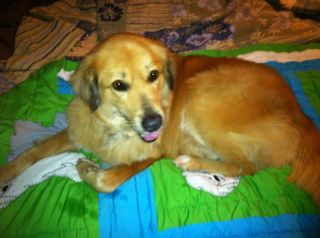 Ari, an adopted Golden Retriever Mix in Alpharetta, GA
