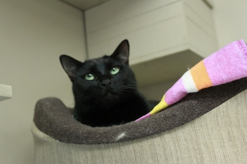 Breeze, an adopted Domestic Short Hair Mix in Maple Ridge, BC