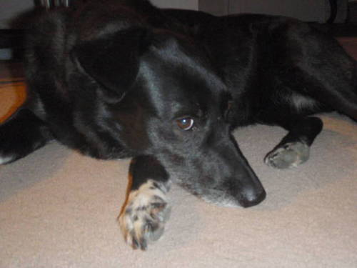 Libby, an adopted Border Collie & Labrador Retriever Mix in London, ON