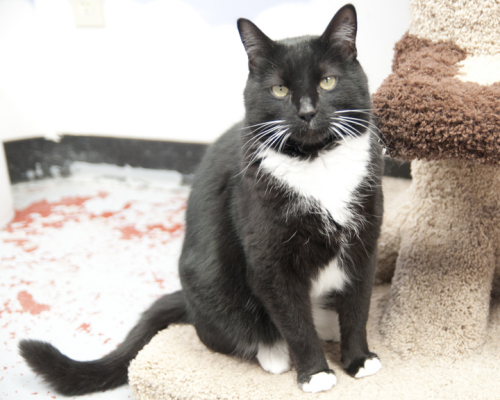 Tux, an adopted Domestic Short Hair Mix in Fort Smith, NT