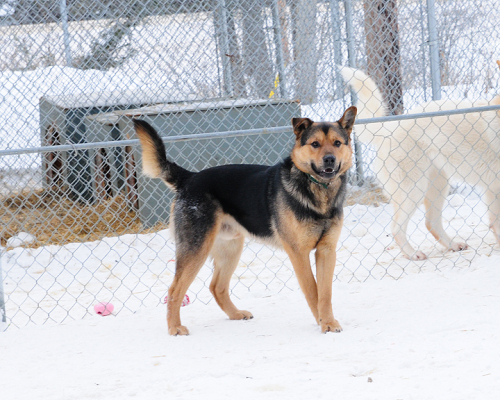 Kenny, an adopted German Shepherd Dog & Husky Mix in Fort Smith, NT