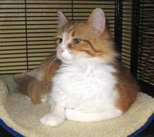 Peyton, an adopted Domestic Medium Hair in Kankakee, IL