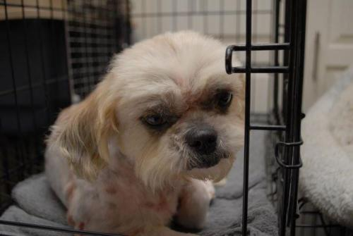 Lilliana Ranger, an adopted Lhasa Apso Mix in Houston, TX