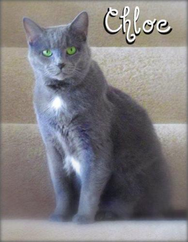 Chloe, an adopted Russian Blue in Decatur, IN