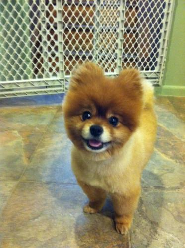 RAZOR, an adopted Pomeranian in Allendale, NJ