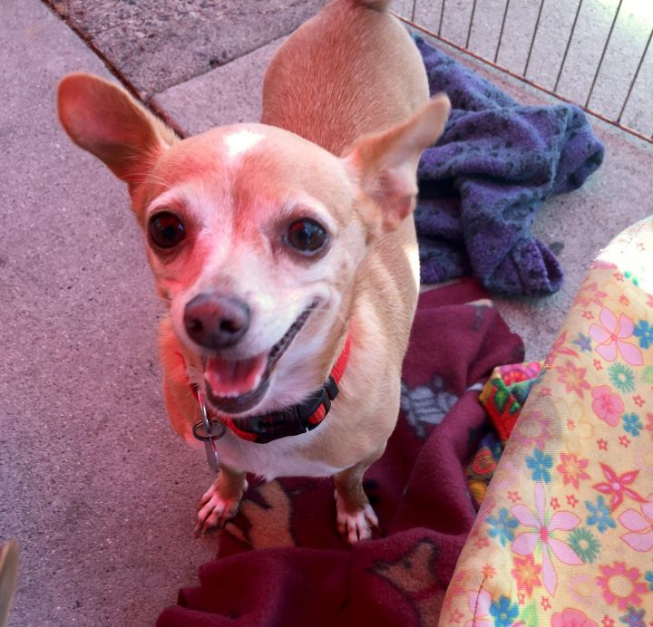 Amy, an adoptable Chihuahua Mix in Studio City, CA