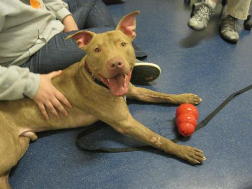 Hossa, an adopted Pit Bull Terrier in Chicago, IL