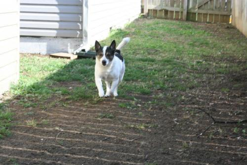 Wrigley, an adopted Corgi Mix in Henderson, KY