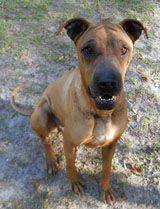 Lena, an adopted Shar-Pei in Tallahassee, FL