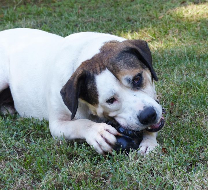 Beethoven, an adoptable American Bulldog & Kuvasz Mix in Nacogdoches, TX