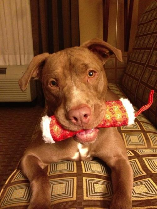 Mocha, an adopted Pit Bull Terrier Mix in Rockaway, NJ