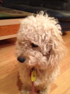 RI - Davey, an adopted Poodle & Labrador Retriever Mix in Jackson, NJ