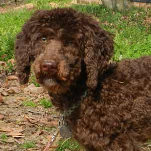 SC - Annie, an adopted Poodle & Labrador Retriever Mix in Jackson, NJ