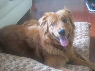 Annabella, an adopted Nova Scotia Duck Tolling Retriever Mix in Alpharetta, GA