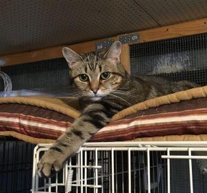 Joyful Domestic Short Hair Cat