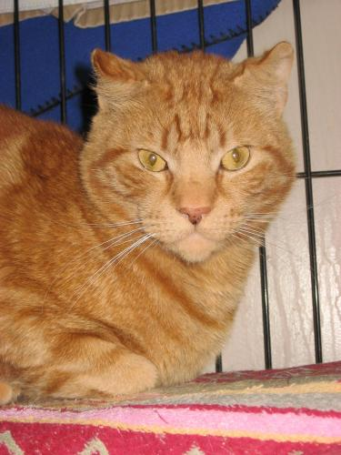 Tyson, an adopted Tabby Mix in Maple Ridge, BC