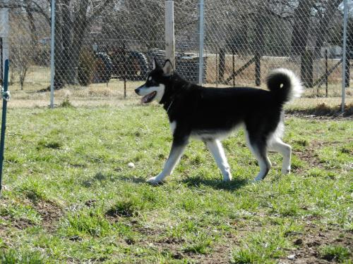 Dodger, an adopted Alaskan Malamute in Mount Prospect, IL