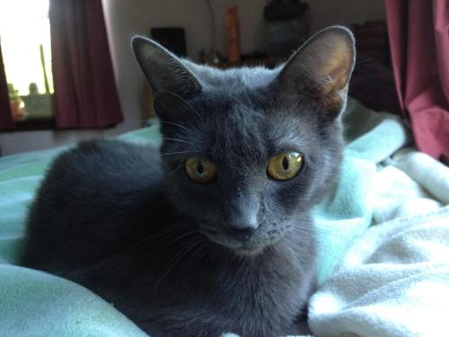 Mirabella, an adopted Russian Blue Mix in Tallahassee, FL