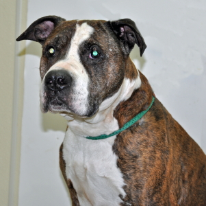 Daddy, an adopted Boxer Mix in Port Washington, NY