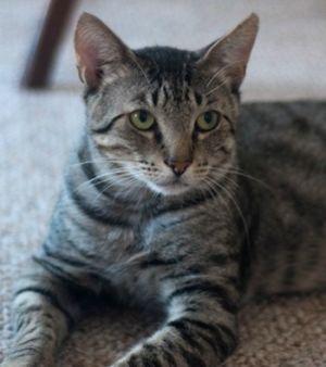 Juni Domestic Short Hair Cat